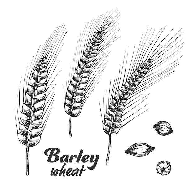 Designed barley wheat spike and seed set. Premium Vector