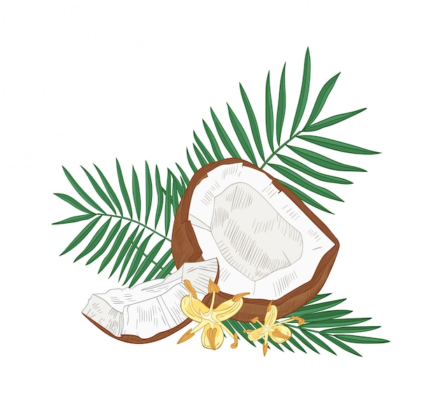 Premium Vector Detailed Botanical Drawing Of Cracked Coconut Palm Tree Leaves And Flowers Isolated On White Background Edible Fresh Exotic Tropical Fruit Or Drupe Realistic Illustration In Vintage Style The leaves are packed with powerful vitamins and nutrients and can be eaten raw or cooked. https www freepik com profile preagreement getstarted 8978991