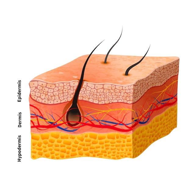 자세한 인간의 피부 구조, 의료 일러스트 | 프리미엄 벡터