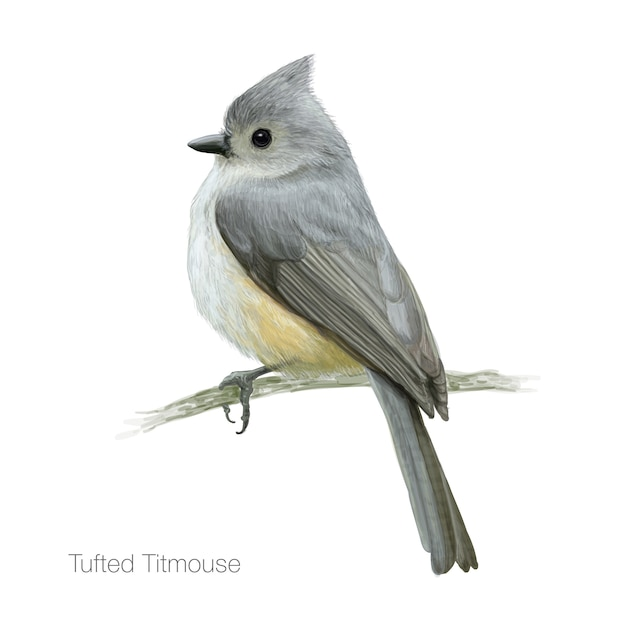 Detailed tufted titmouse bird illustration Premium Vector