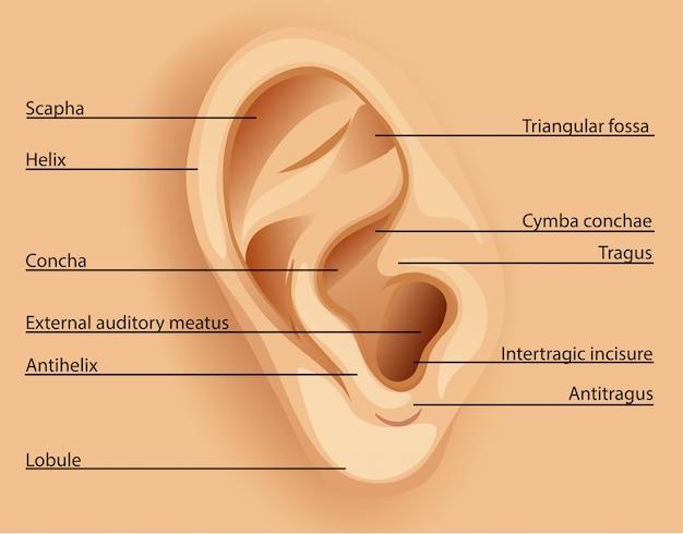 Ear Diagram Tragus