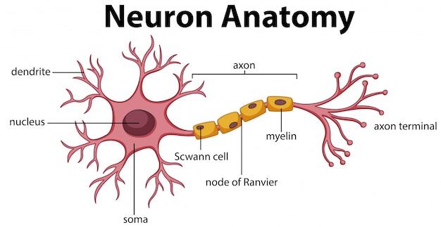 Diagram of neuron anatomy Premium Vector