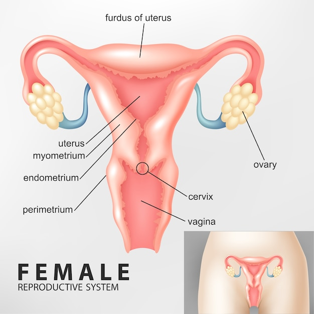 Diagram of female reproductive system vector premium download diagram of female reproductive system premium vector ccuart Image collections
