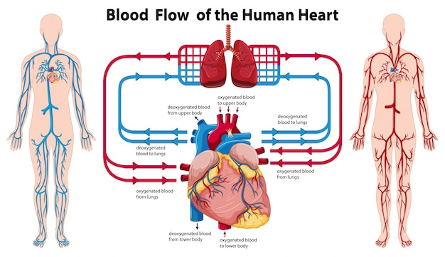 Diagram showing blood flow of the human heart | Free Vector