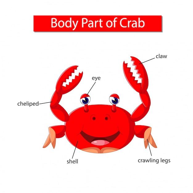 Diagram showing body part of crab Premium Vector