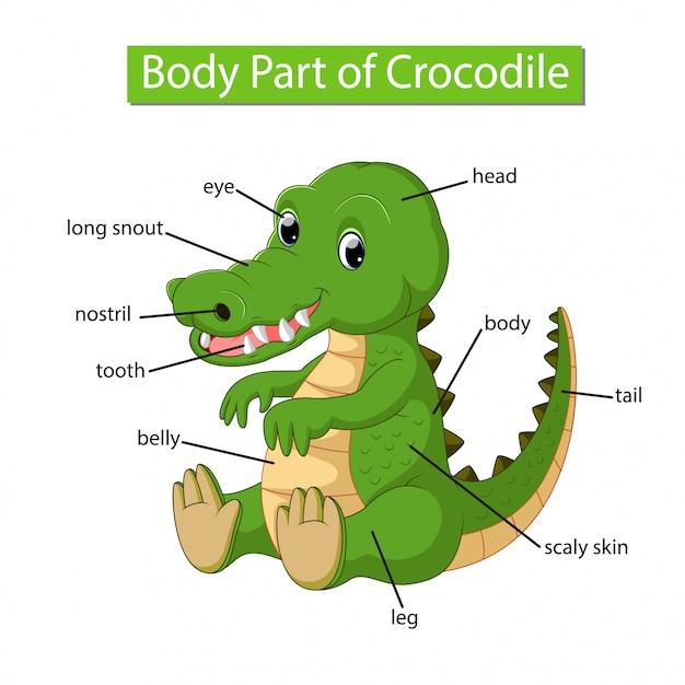 Diagram showing body part of crocodile Premium Vector