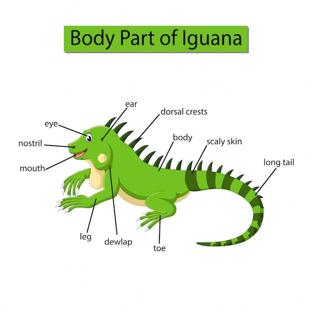 Premium Vector Diagram Showing Body Part Of Iguana