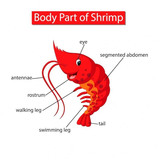 Diagram showing body part of shrimp Premium Vector