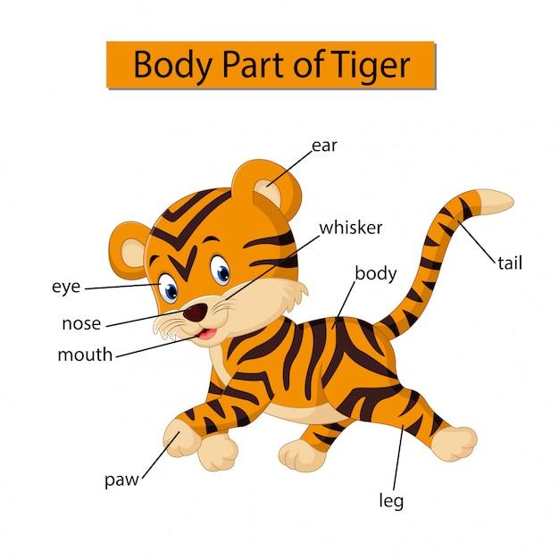 Diagram showing body part of tiger Premium Vector