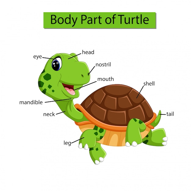 Diagram showing body part of turtle Premium Vector