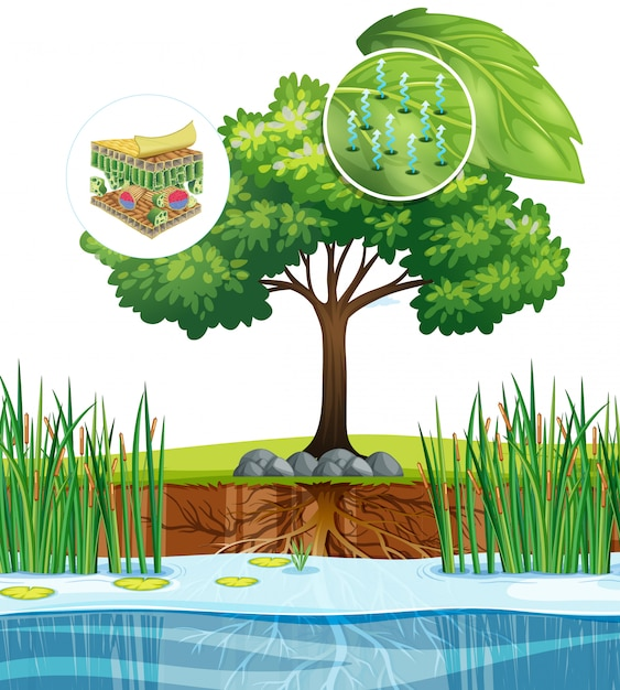 Diagram showing close up plant cell from a tree Free Vector