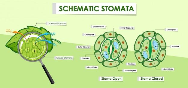 Diagramma che mostra i dettagli della cellula vegetale Vettore gratuito