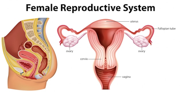 Diagram showing female reproductive system illustration Vector ...