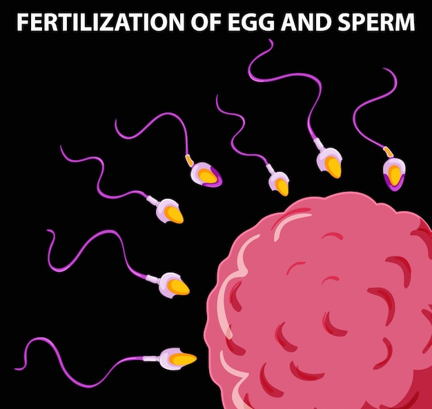 Sperm fertilize an egg