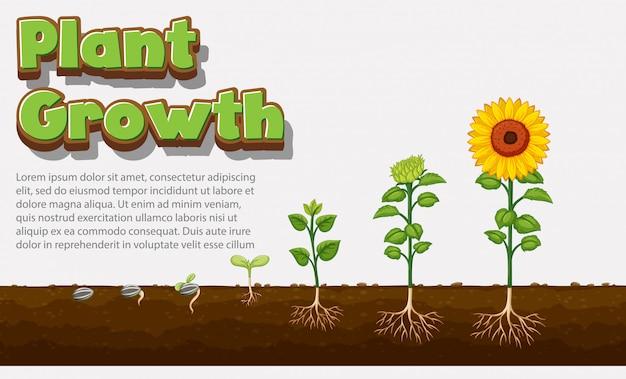 식물이 씨앗에서 해바라기로 어떻게 자라는지를 보여주는 다이어그램 무료 벡터