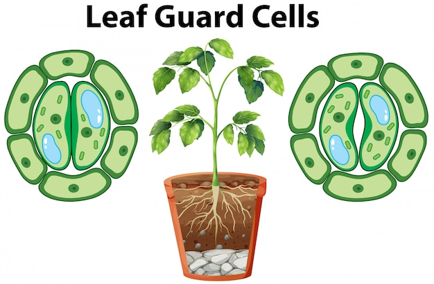Diagram showing leaf guard cells on white Free Vector