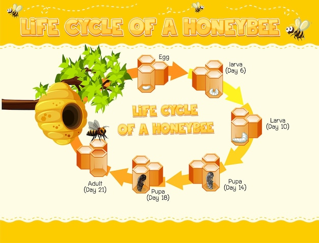 꿀벌의 수명주기를 보여주는 다이어그램 무료 벡터