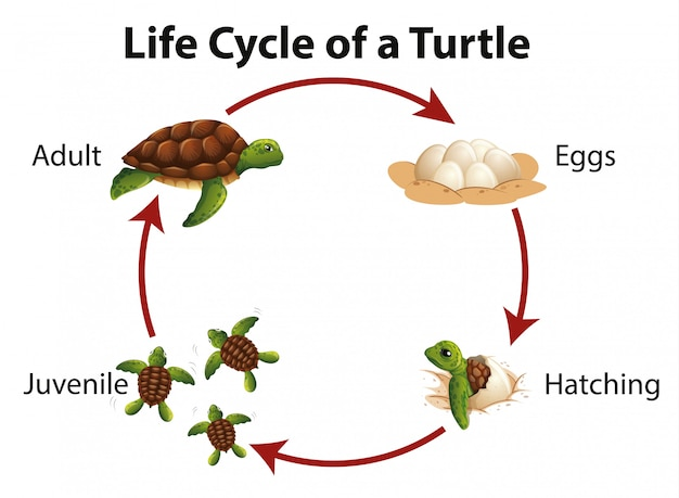 Diagram showing life cycle of sea turtle Free Vector