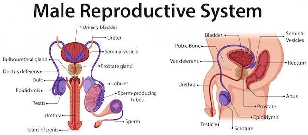 Diagram showing male reproductive system Vector | Premium ... on