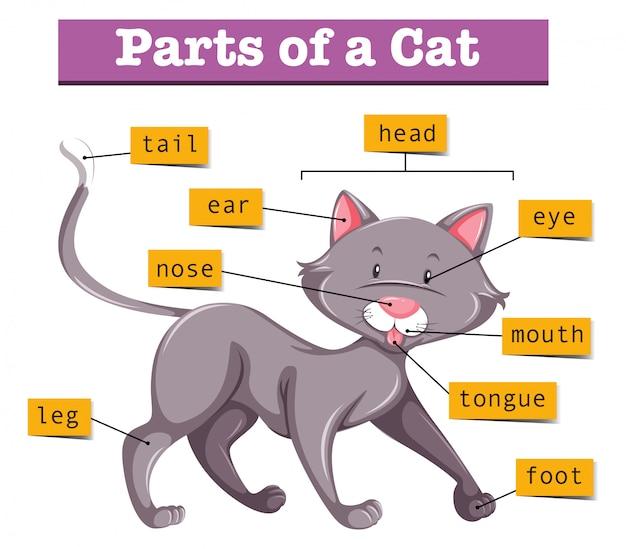 Diagram Showing Parts Of Cat Vector