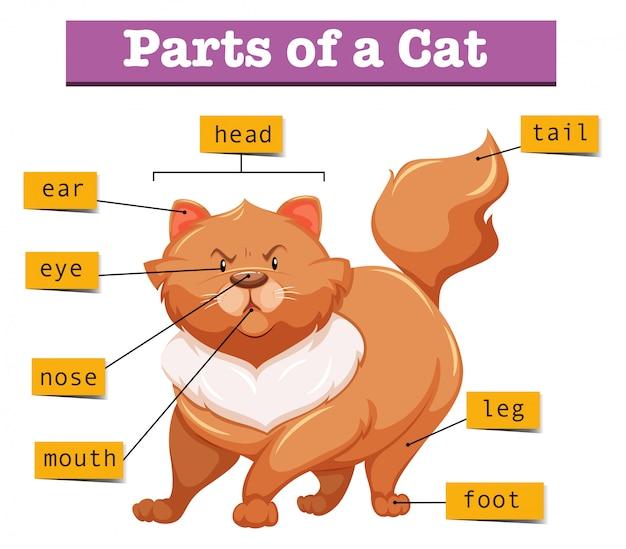 Diagram Showing Parts Of Cat