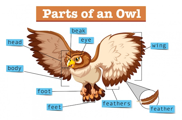 Diagram showing parts of owl Free Vector