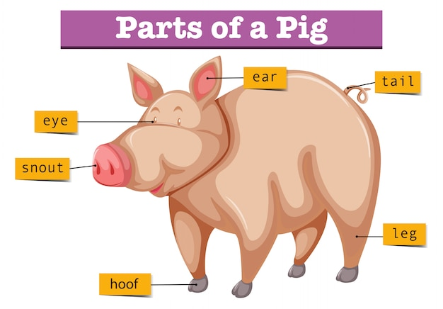 Diagram Showing Parts Of Pig Vector