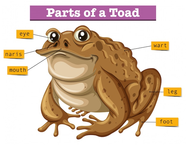 Diagram showing parts of toad Free Vector
