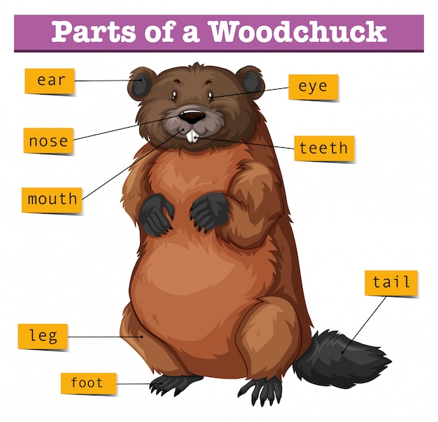 Diagram showing parts of woodchuck Free Vector