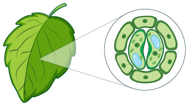 Leaf Cell Diagram Under Microscope - Micropedia