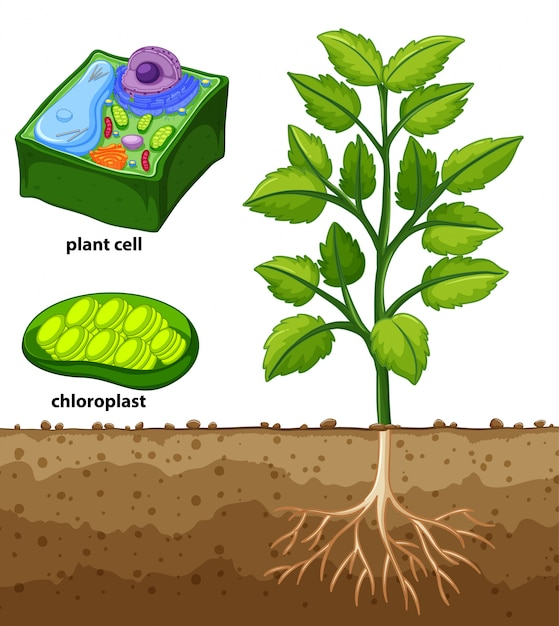 Diagram showing plant cell and tree in the ground | Free ...