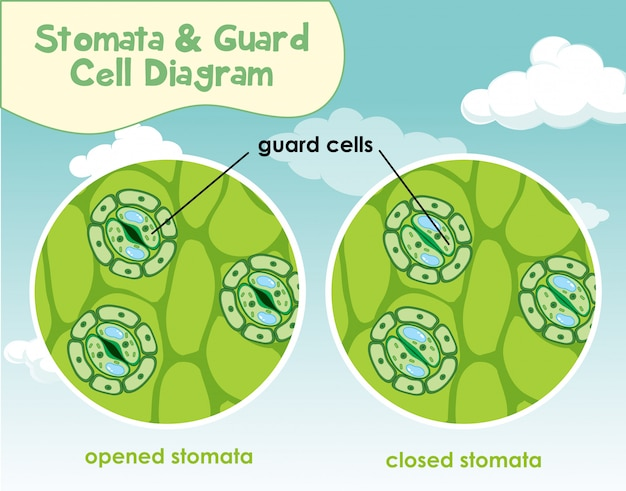 Diagram showing plant cell with stomata and guard cell ...