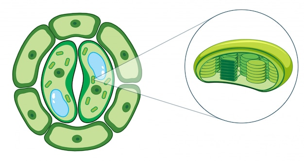 Diagram showing plant cell Vector | Free Download