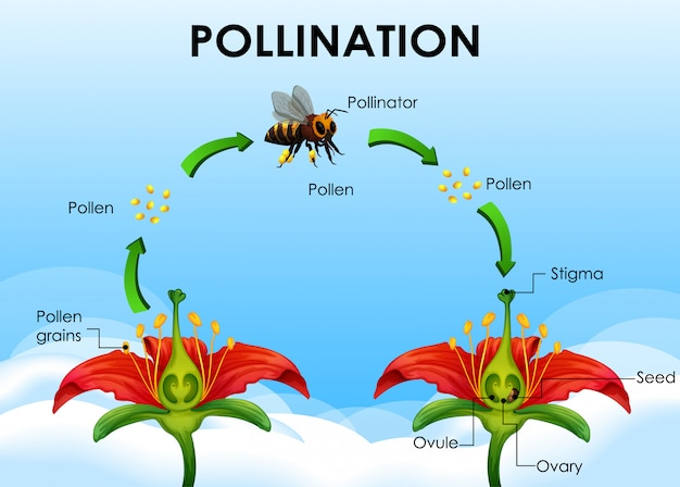 Diagram Showing Pollination Cycle