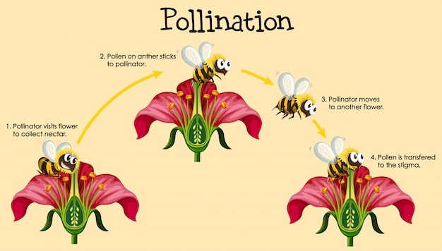 Diagram showing pollination with bee and flowers Free Vector