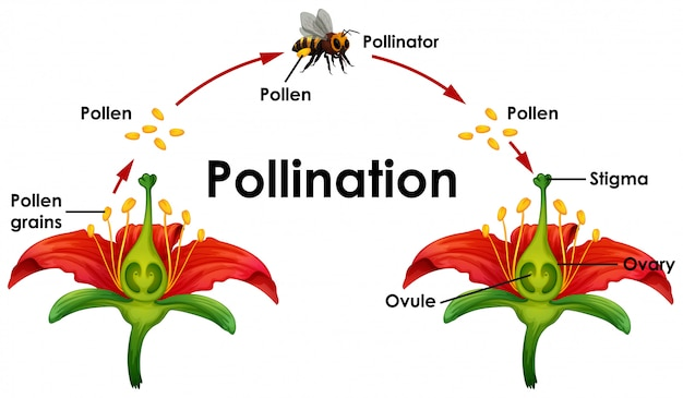 Diagram showing pollination with flower and bee Free Vector