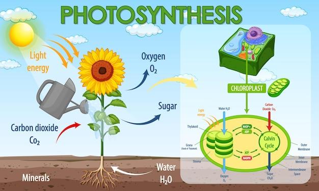 식물의 광합성 과정을 보여주는 다이어그램 무료 벡터