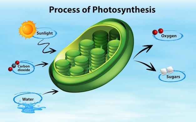 Diagram Showing Process Of Photosynthesis Vector Free Download