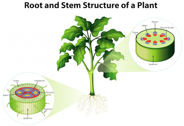 Diagram showing root and stem structure of a plant | Free ...