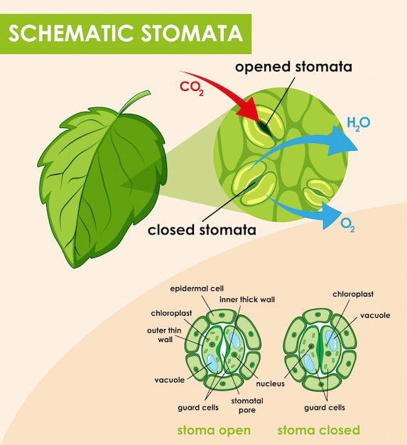 Schematic Diagram Online: Diagram Showing Schematic Stomata