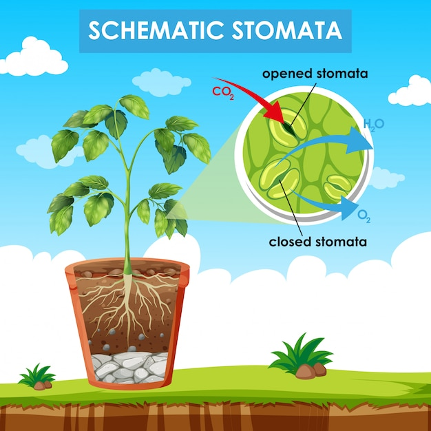 Diagram showing schematic stomata Free Vector