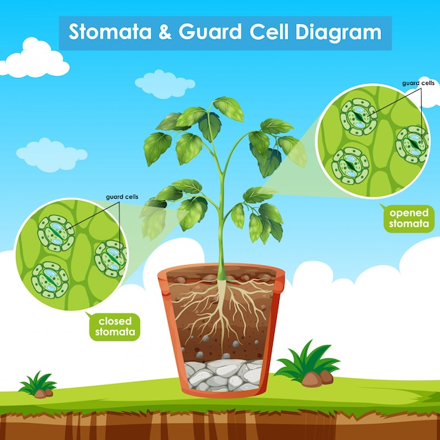 Diagram showing stomata and guard cell Free Vector