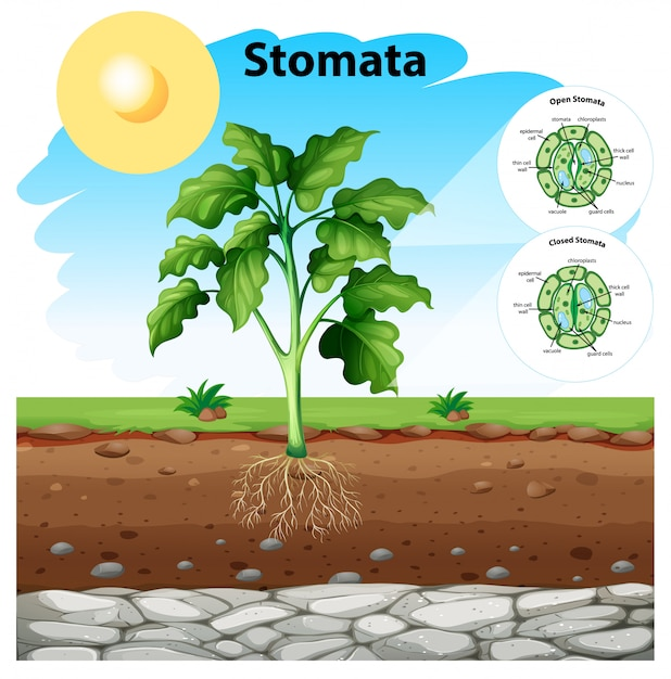 Diagram showing stomata of a plant Free Vector