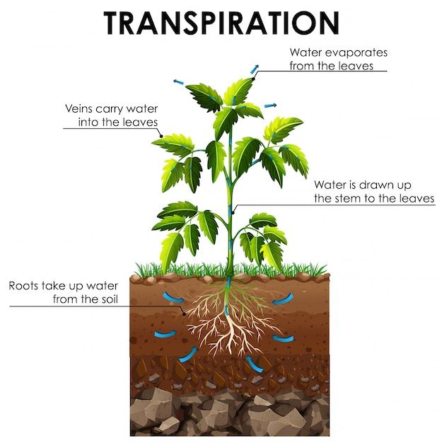 Free Vector | Diagram showing transpiration of plant