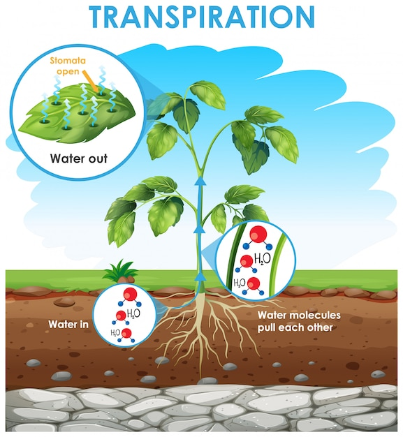 Diagram showing transpiration in plant Free Vector