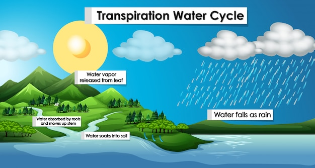 Diagram showing transpiration water cycle   Free Vector