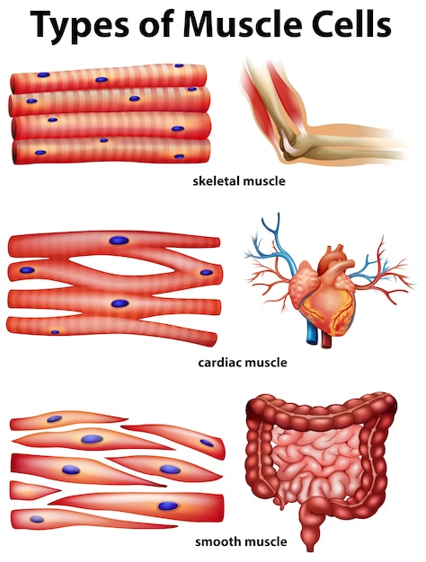 Diagram showing types of muscle cells Vector | Premium Download
