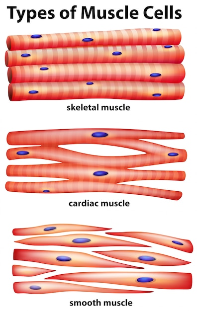 Diagram Showing Types Of Muscle Cells Vector Premium Download