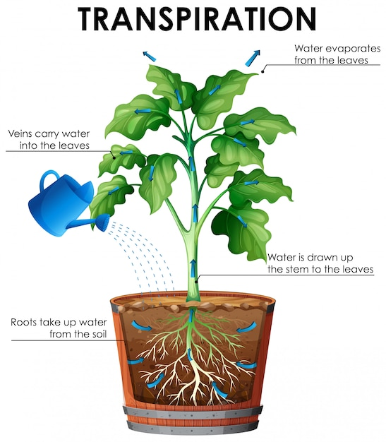 Diagram of transpiration with plant and water Free Vector