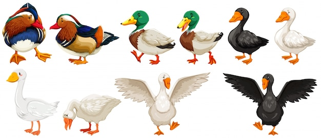 Different kind of ducks and goose illustration Free Vector